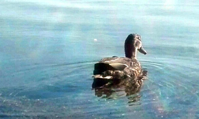 And der svømmer