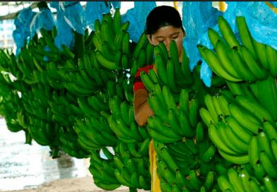 Kézműves banán – a legokosabb létforma a Föld bolygón?