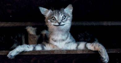 Kitömött macska, mint fejdísz