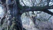 Birnam oak 26 Feb 2019 (5)