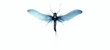 Mayflies - Mayfly - Ephemeri Vita (12)