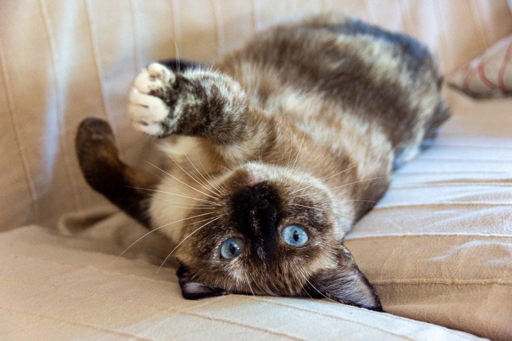 my cat Aria stretching on sofa