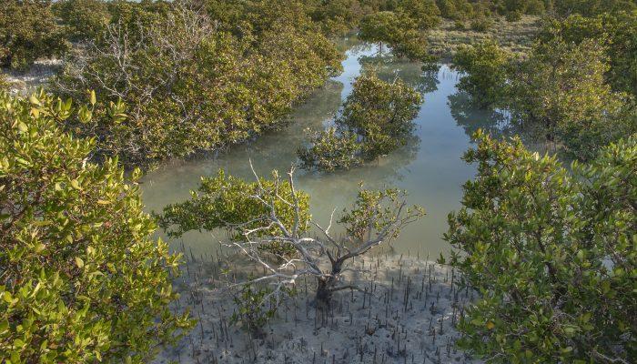 thakira_salt_marsh-mangrove_trees_avicennia_marina_salt