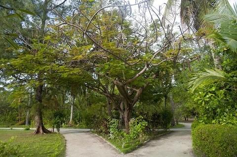 Мальдивские-острова, отдых - растительный мир