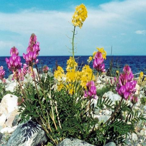 Отдых на острове Ольхон, очень разнообразная флора Ольхона