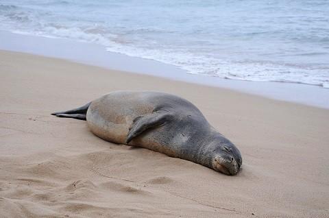 Отдых на Гавайских островах - Гавайский тюлень-монах