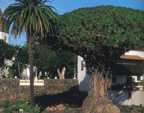 Отдых на острове Тенерифе, Драконово дерево