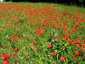 Poppies_in_one_of_our_meadows