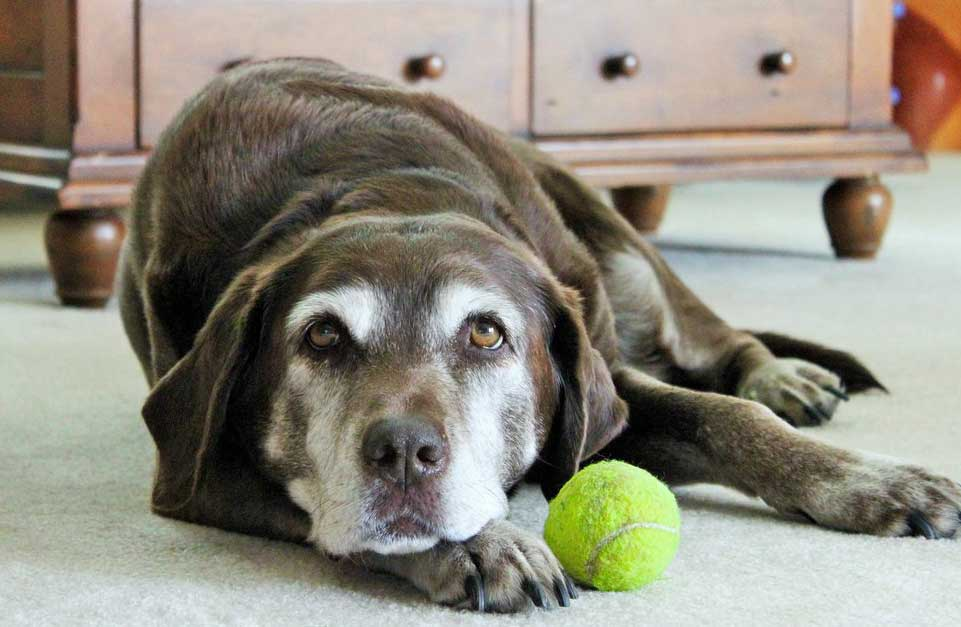 Natural Anti Inflammatory For Dogs