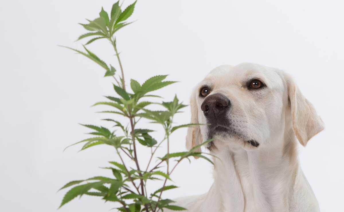 Cbd For Dogs Cannabis Plant