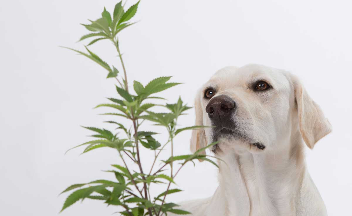 cbd for dogs cannabis plant