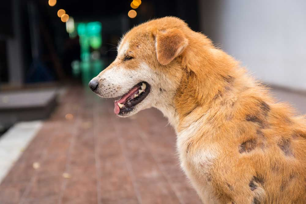 Home Remedies To Treat Dog Hair Loss