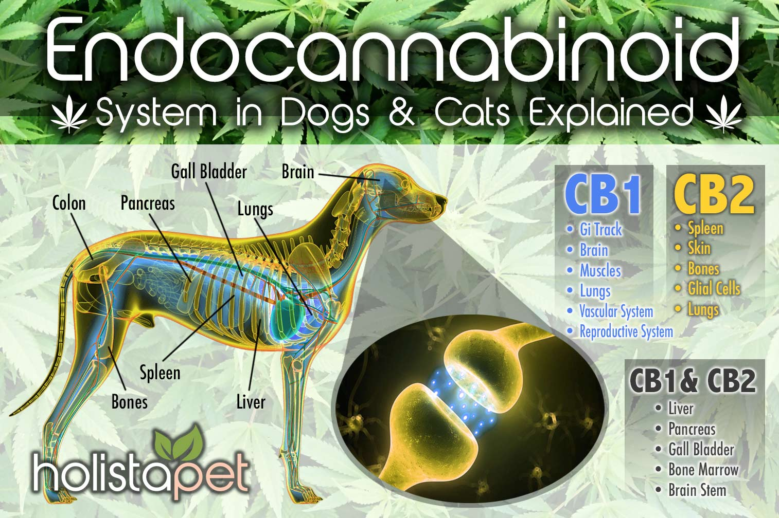 Endocannabinoid-system-in-dogs-explained