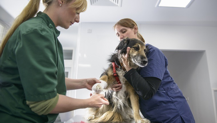 squamous cell carcinoma in dogs getting bandaged at vet on table