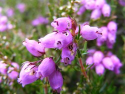 How Bach Flower Heather supports natural healing in horses