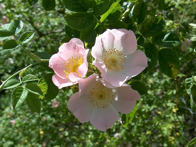 Rose Hip Rose Dog Rose Rose Greenhouse Wild Rose