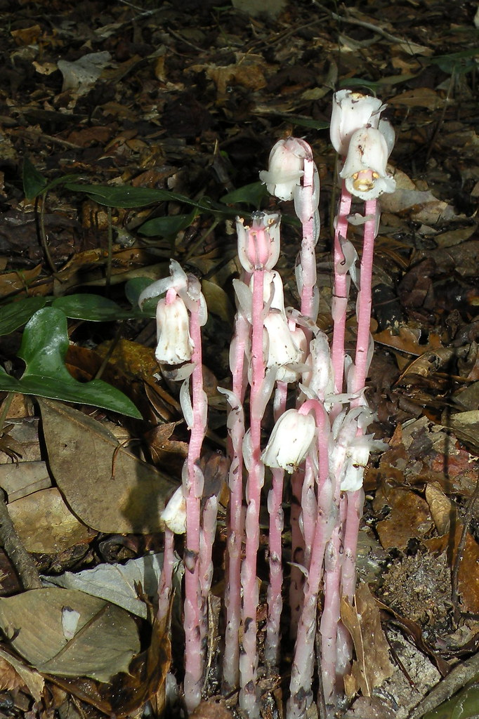 Monotropa uniflora (one-flowered Indian-pipe), Bristol, FL