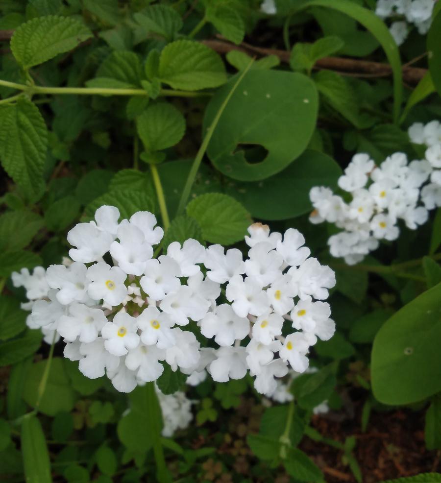 lantana-herbal-medicine