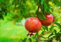 Pomegranate extract for cancer recovery and prevention.
