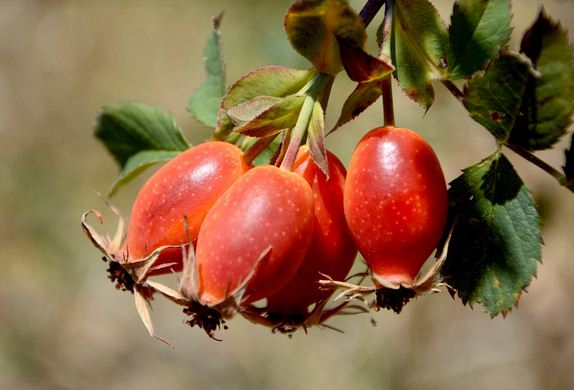 Rosehips Tea keeps coming up in this article because of its all round support.