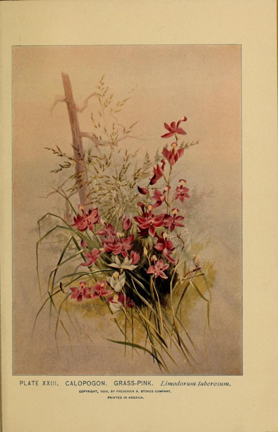 tuberous-grasspink-herbal-medicine-1899.jpg