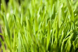 Why Wheatgrass  is in the Herbal Treatment for Recovery from Adrenal Exhaustion & Rehabilitation from Adrenal Abuse