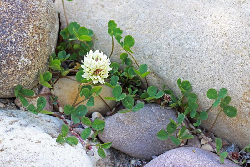white-clover-trifolium-repens-herbal-medicine