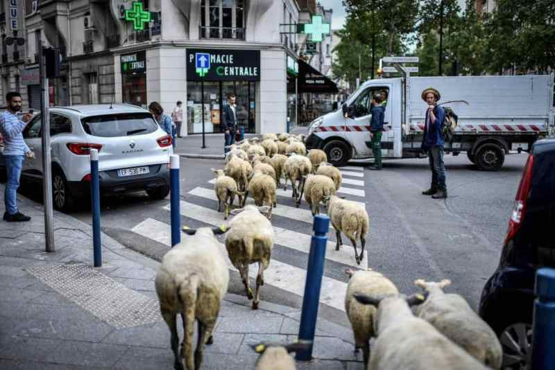 TOPSHOT - An urban farmer crosses a street with a herd of sheep in Aubervilliers, north of Paris, on June 13, 2018 as part of a cattle drive. / AFP PHOTO / STEPHANE DE SAKUTIN
