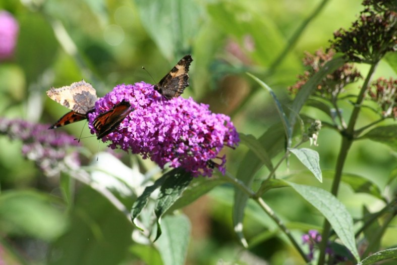 butterfly-bush for overcoming anxiety