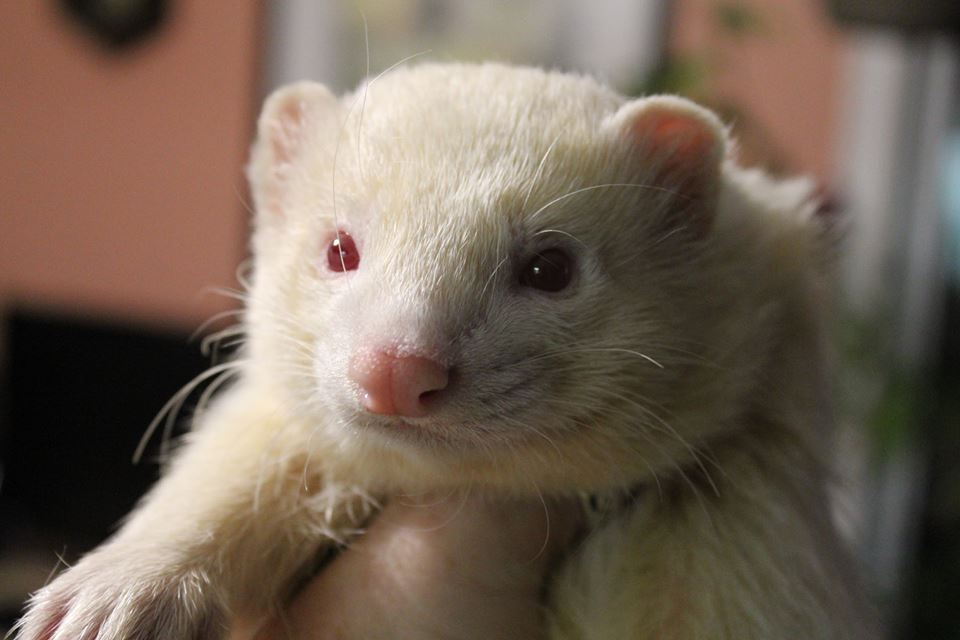 Keeping your ferret healthy