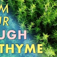 Calm Your Cough With Thyme