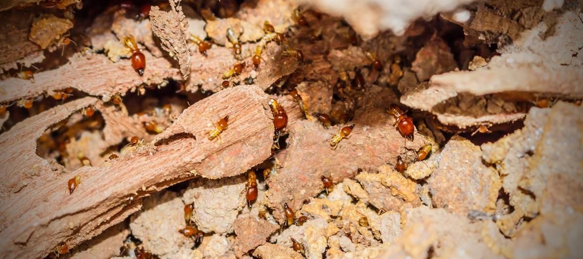 termites-e1447330383774