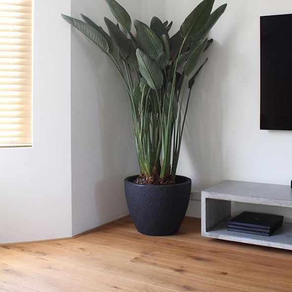 Home inspiration by crooshouse Strelitzia plant supplied by Holland Strelitziahellip