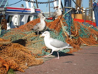 Gulls hoping to be fed