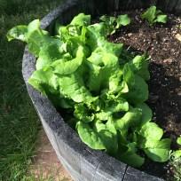 Buttercrunch lettuce, ripening in the wine barrel planters.