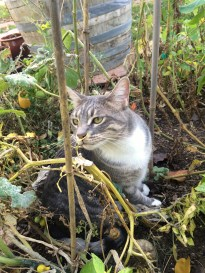 garden tabby cat ash in the tomato plants