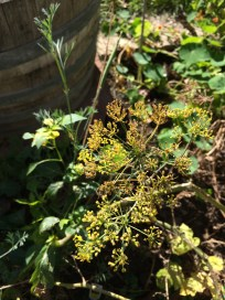 dill blossoms near the wine barrels