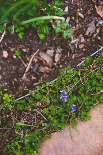 Tiny, purple blossoms along our flagstone pathway.