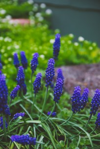 Grape hyacinths along the back walkway.