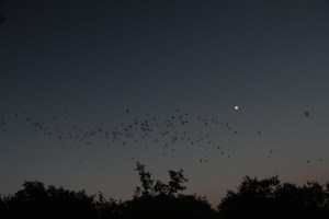 And off the go.  These are the Mexican Free-tailed bats.