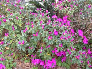 Most of my azaleas have died out - but this one will be gorgeous in the next few days