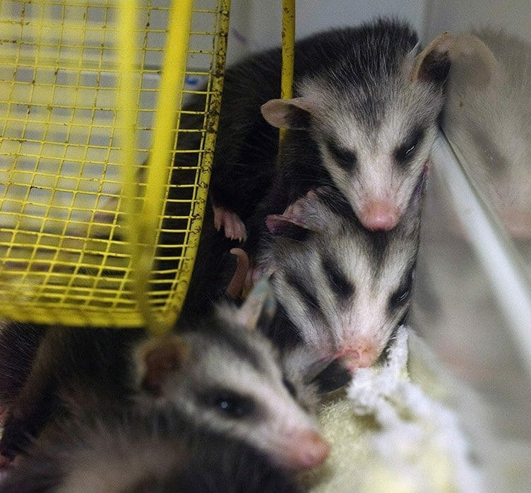 Exercise wheels are important enrichment items for baby squirrels and opossums – when they're not napping