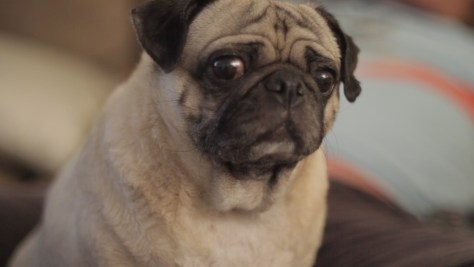 Pug life...still of the adorable Kimchi