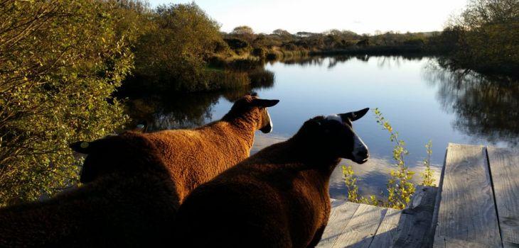 zwartbles sheep