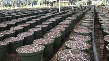 Jun Planting Poinsettia Hanano Nursery