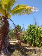 Only hala on island with coconut tree and plumeria In background