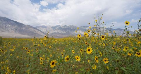 sunflowers-in-Owens-Valley