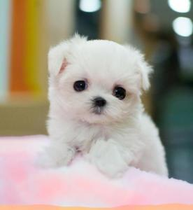 Maltese-miniature-poodle-puppies-for-sale