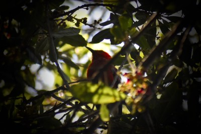 (Color enhanced) An 'apapane in a tree.