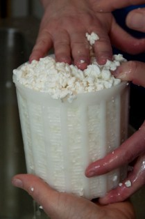 gently pressing curds into molds